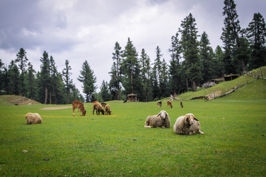 Sheep at Fairy Meadows